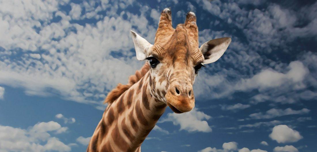 giraffe question in quiz