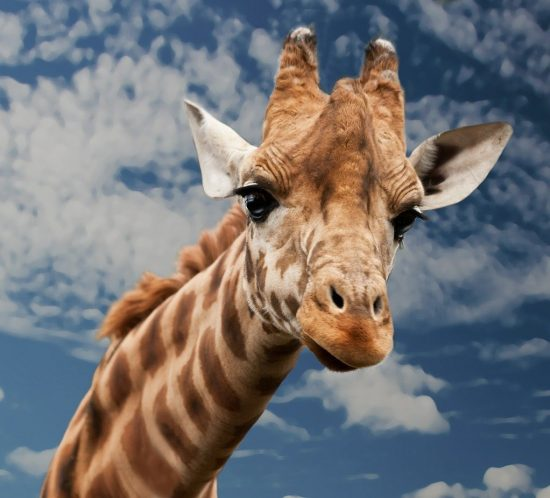 giraffe question in quiz